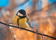 Titmouse grand sur un branchement Photographie stock