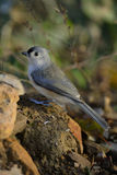 Titmouse Grounded Royalty Free Stock Photo