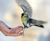 Titmouse on a hand. Stock Photo