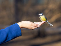 Titmouse in hand Stock Photo