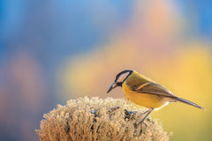 Titmouse is holding a sunflower seed in its beak. Royalty Free Stock Images