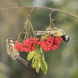 Titmouse holding on to a rowanberry branch. Two titmouse holding on to a rowanberry branch Stock Image
