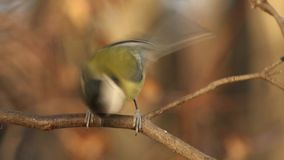 Titmouse jumping on the branch changing each other stock footage