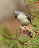 titmouse kiciasty Obrazy Royalty Free