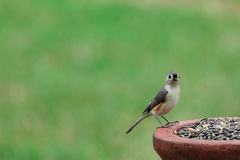 titmouse kiciasty Fotografia Royalty Free