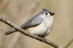 titmouse kiciasty Obrazy Stock