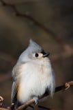 titmouse kiciasty ptak Fotografia Stock