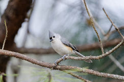 titmouse kiciasty ptak Obrazy Royalty Free