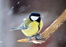 Titmouse on a knot. The titmouse sits on a tree knot during bad weather Royalty Free Stock Photo