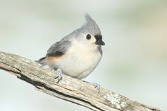Titmouse On A Log Stock Photography