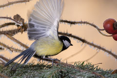 Titmouse on the move Stock Image