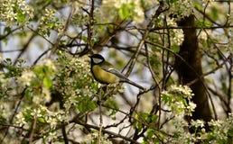 Titmouse na gałąź czereśniowy drzewo Zdjęcia Stock