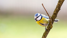 Titmouse is a natural in the wild. Royalty Free Stock Photo
