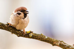 Titmouse is a natural in the wild. Stock Image