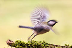 Titmouse is a natural in the wild. Royalty Free Stock Photos
