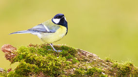 Titmouse is a natural in the wild. Stock Photos