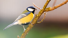 Titmouse is a natural in the wild. Royalty Free Stock Image