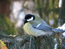 Titmouse in needles. One litle titmouse in needles in winter Stock Photography