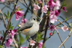 Titmouse and Peach Blossoms Stock Image