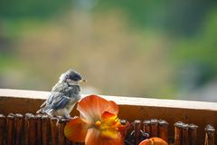 Titmouse is preparing for the first flight. Young titmouse is preparing for the first flight Stock Photos