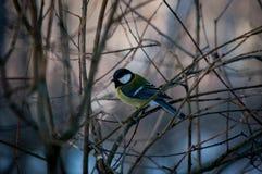 Titmouse ptak Fotografia Royalty Free