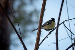 Titmouse ptak Obrazy Stock