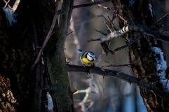 Titmouse ptak Fotografia Stock