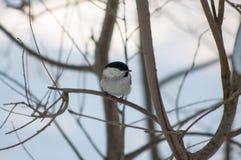 Titmouse ptak Zdjęcia Stock