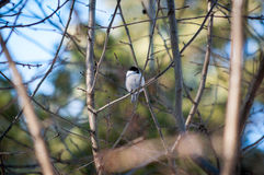 Titmouse ptak Zdjęcie Stock