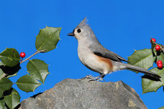 Titmouse On A Rock With Holly Stock Photography