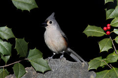 Titmouse On A Rock With Holly Royalty Free Stock Photography
