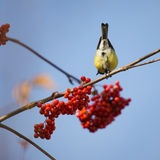 Titmouse and rowan Royalty Free Stock Image