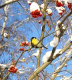 Titmouse on rowan. Winter view.bird tomtit sits on  branch of rowan tree Royalty Free Stock Images