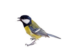 Titmouse in a rush 2 Royalty Free Stock Photography