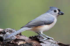 Tufted Titmouse with a Seed. A tuffted titmouse (Baeolophus bicolor) with a seed in its beak, perching on a branch Stock Images