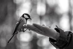 Titmouse selvagem do pássaro na palma imagem de stock royalty free