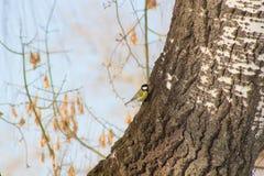 Titmouse siedzi na drzewie Obrazy Stock