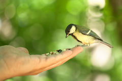Titmouse sits on a hand. Green background in the forest Stock Image