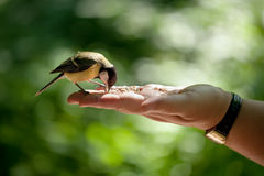 Titmouse sits on a hand Royalty Free Stock Photos