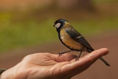 Titmouse sits on the open palm of a woman. tit eats sunflower seeds from human hand. people feed the birds royalty free stock photography