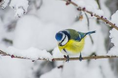Titmouse sits on snow-covered branches in the park Stock Photos