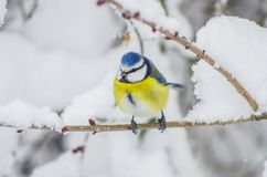 Titmouse sits on snow-covered branches in the park Royalty Free Stock Photo