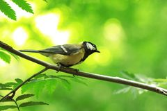 The titmouse sits on a tree branch. Royalty Free Stock Image