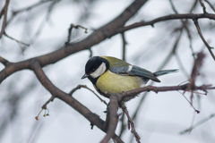 The titmouse sits on a tree branch. Close-up photo Stock Photography
