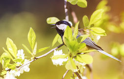 titmouse sitting on a blooming branch of Apple tree in spring on a Sunny day Stock Photos