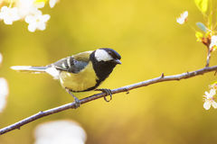 Titmouse sitting on a blooming branch of Apple tree in spring on a Sunny day Stock Photography