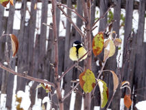 Titmouse sitting on a branch Stock Images