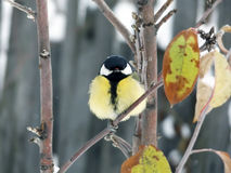 Titmouse sitting on a branch Royalty Free Stock Photo