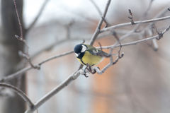 Titmouse  is sitting on the branch Royalty Free Stock Photography
