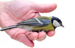 The titmouse  sitting  on a hand 2 Stock Photography